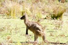 Murramarang Park, Australia. (RViana) Tags: wildlife wallaby australien kangaroos australie oceania wallabies kanguru camberra vidaselvagem wallabee ozeanien  ocanie kangaru oceanien cangaru oseania canberran