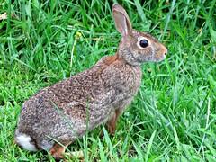 bunny portrait2 (Karen Meidel) Tags: rabbits bunny wildlife forest animals picmonkey
