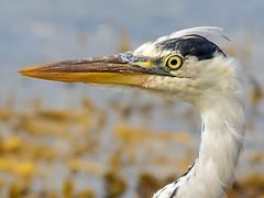 Grey Heron (coopsphotomad) Tags: heron portrait bokeh canon 7d avian yelllow beak eye seaweed shore scotalnd mull britiain britishwildlife scenic detail water natura