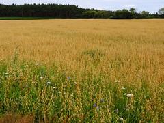 Haferfeld - oat field (Sophia-Fatima) Tags: dargow haferfeld hafer oatfield schleswigholstein deutschland getreide getreidefeld cereals field fields felder
