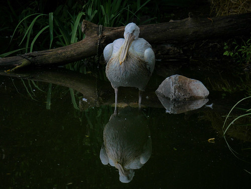 Tierpark Herberstein - Pelikan