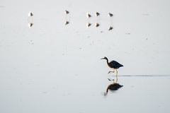 March like this! (Ian@NZFlickr) Tags: white faced heron pied stilts hoopers inlet otago peninsula dunedin nz