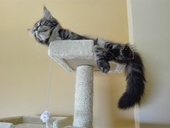 Baloo Maine Coon kitten (romeosilverpersian) Tags: mainecoonkitten mainecoon mainecooncat kittens kitten gattino gattini tiragraffi scratchingpost