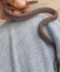 fat rough earth snake (virginia striatula) (going on going on) Tags: brown la virginia louisiana lafayette earth snake small rough earthsnake striatula