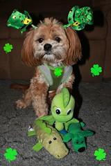 365/76 - 3/17/15 - Happy St. Patricks Day! (~Patti~) Tags: dog green st toys day hats patricks shamrocks milestone stpatricksday odc dogchal