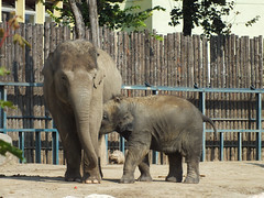 Baby Elephant (CyberMacs) Tags: elephant nature animal mammal zoo hungary budapest places llatkert
