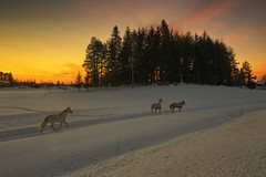 Horses Running at Sunset (MilaMai) Tags: trees winter sunset horses horse snow cold beautiful animal animals horizontal clouds barn forest suomi landscape countryside colorful path farm coat snowdrift tracks free running run redsky finnish magical atmospheric kuopio whitehorse snowscape winterscene blurredmotion originalimage runningfree easternfinland milamai