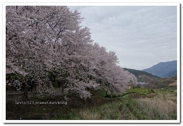 화개십리벚꽃길14
