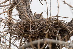 Female owl in a nest in Thornton, Colorado
