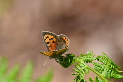 Butterfly on Bracken (heathernewman) Tags: uk england plant butterfly bracken