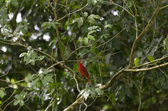 Piranga flava (Val Che) Tags: trees wild tree bird animal animals forest costarica rboles selva beak feather arbres bosque ave pico rbol pluma bec animaux arbre fort oiseaux plumes refuge pjaro wildliferefuge plume tanager sauvage plumas hepatictanager canonegro caonegro forts refugiodevidasilvestre fueguero refugionacionaldevidasilvestrecaonegro refugeanimalier pirangaorang tangararojapiquioscura piringaflava tangaraorang