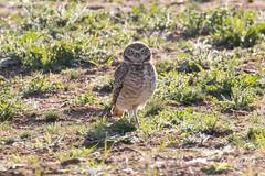 Posing Burrowing Owl