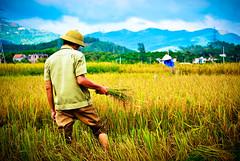 rice harvest seasons in Central Vietnam (Dari_Extension) Tags: view rice harvest vietnam