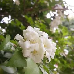 Aroma therapy.... อากาศเย็นๆยามเช้า นั่งทำงานริมหน้าต่าง หอมกลิ่นดอกแก้ว กับลีลาวดี รู้สึกสดชื่นดีจัง  ปลูกเองตั้งแต่ต้นเล็กๆซื้อมาต้นละ50บาท ตอนนี้โตสูงถึงหน้าต่างชั้น2 ของบ้าน กลางคืนแง้มหน้าต่างนอนได้กลิ่นหอมนอนหลับสบาย...