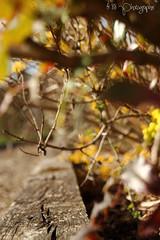 La jaunisse (fred88r) Tags: wood flower sol nature fleur yellow jaune bois extrieur