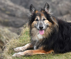Smiling Dog (manxmaid2000) Tags: uk portrait dog pet brown black smile rural happy collie natural outdoor canine depthoffield crossbred colliecross roughcollie