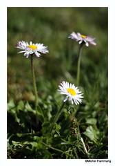 In my garden ... (The Beer Monk & Railway Addict) Tags: flower fleurs blume 50mm18 pétales canon110d