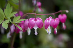 Dicentra Spectabilis(Breeding Heart, ) (Johnnie Shene Photography(Thanks, 1Million+ Views)) Tags: pink flowers light wild plants plant flower colour macro nature floral beautiful beauty horizontal closeup canon wonderful lens hearts outdoors photography eos rebel living spring amazing flora focus scenery kiss day heart natural image time outdoor wildlife blossoms scenic reserve tranquility scene 11 several breeding 28 magnified tamron 90mm 90 f28 tranquil springtime foreground dicentra determination blooming phenomenon t3i x5 magnification organism  bloomed spectabilis  600d