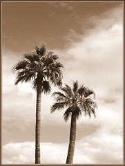 to breath free (milomingo) Tags: arizona sky cloud southwest tree nature sepia botanical desert pair palm frond palmtree arid earthday