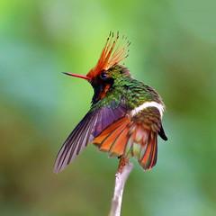Peru: Rufous-crested Coquette (spiderhunters) Tags: peru rainforest hummingbird andes sanmartin moyobamba rufouscrestedcoquette lophornisdelattrei neotropics
