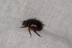 Scarabaeidae sp. (dhobern) Tags: may australia wa coleoptera 2016 scarabaeidae aldersyde