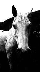 il cavallo bianco (carlini.sonia) Tags: sonia brezza prato montagna cavallo vento norcia castelluccio sibillini