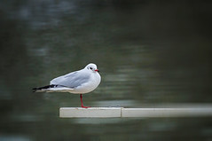 Well balanced ( Mikica Kosanovic ) Tags: minolta gull 500mm