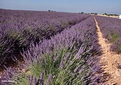 ... un mare di lavanda (antosti) Tags: nikon d70s francia provenza lavanda valensole coltivazione