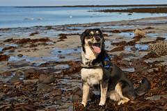 25april_gardskagaviti_048 (Stefn H. Kristinsson) Tags: dog playing beach spring sand venus april hundur clearsky strnd 2016 tamron2875 garskagaviti nikond800