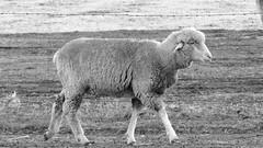 Merino first cross or comeback breed of sheep - NSW 2016 (2 )(BW) (nicephotog) Tags: wool animal yard rural sheep farm australia merino nsw comeback wether paddock ewe firstcross
