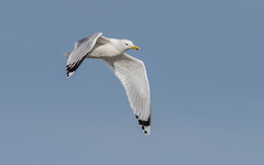 Caspian Gull (tickspics ) Tags: europe romania caspiangull laruscachinnans danubedelta musurabayblacksea