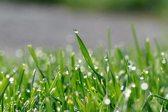 morning dew (ladybugdiscovery) Tags: green grass dof bokeh dew morningdew
