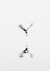 Taking Flight (Dalliance with Light) Tags: sky bw mist reflection bird water monochrome silhouette fog fly flying cu bright cuba flight cormorant highkey minimalism cienfuegos