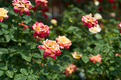 / Eiko (yiming1218) Tags: plant flower nature rose zeiss 50mm bokeh sony f2  50 eiko planar carlzeiss  loxia   a7r2 a7rm2 ilce7rm2