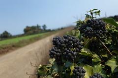 DSC07020 (AroDrake) Tags: plant fruit berry bokeh