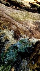 sneaky salamander  Gr/BP  5/16 (Ma Wolff) Tags: color macro tree decay salamander bark surprise