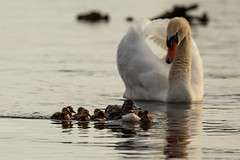 Kralingse plas (Wessel...) Tags: bird netherlands canon rotterdam wildlife nederland vogels kralingen kralingseplas