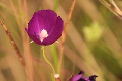 (rarobbins3365) Tags: cup wine poppy mallow
