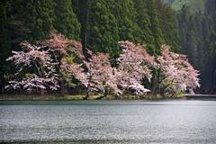 Lake Side Cherry (tez-guitar) Tags: lake flower water cherry spring pond pentax blossoms petal bloom cherryblossom sakura pentaxart