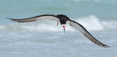 Black Skimmer (PeterBrannon) Tags: ocean bird nature inflight gulf florida wildlife flight birdinflight blackskimmer rynchopsniger
