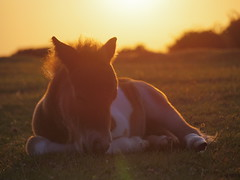 Day 2 (My_adventure) Tags: sunset baby nature beautiful animals landscape glow bright pentax wildlife pony playful compact justborn shetlandpony babyhorse foal 2daysold q7 newforestpony mirrorlesscamera pentaxq7