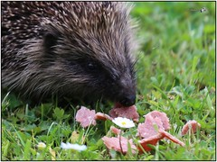 Yum Yum Corned Beef! Garden hedgehog, Bangor, Northern Ireland (BangorArt) Tags: animal mammal bangor northernireland hedgehog countydown erinaceuseuropaeus paulanderson erinaceinae europeanhedgehog bangorart eulipotyphla gardenhedgehog