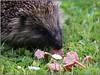 Yum Yum Corned Beef! Garden hedgehog, Bangor, Northern Ireland (BangorArt) Tags: animal mammal bangor northernireland hedgehog countydown erinaceuseuropaeus paulanderson erinaceinae europeanhedgehog bangorart eulipotyphla gardenhedgehog