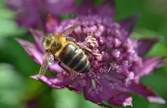 honey bee on Astrantia flower (conall..) Tags: scotlandjune2016 honey bee flower astrantia macro raynox