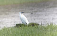 Little Egret (jd.willson) Tags: bird nature birds little wildlife birding maine jd egret rare vagrant willson jdwillson abarare