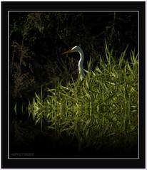 Water bird. (agphoto100) Tags: bird water photoscape tz60 lumix grass green black white neck head beak