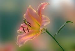 it is the light... (12bluros) Tags: flower floral flora lily 1001nights lilium newyorkbotanicalgarden canonef100mmf28lmacroisusm 1001nightsmagiccity