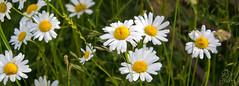 IMG_0108 (Teekanne2) Tags: light summer sun white plant flower green nature yellow licht blossom outdoor sommer natur pflanze gelb grn blume blte sonne marguerites margeriten weis drausen