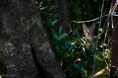 _DSC3939 (allabar8769) Tags: gato bosque cantabria santoa farodelcaballo