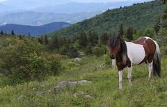 Overlord (csnyder103) Tags: virginia view pony wildponies stallion feral appalachiantrail graysonhighlands canonef70200f28lis graysonhighlandsstatepark mountrogersnationalrecreationalarea canoneos7dmkii
